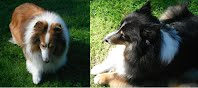 https://sites.google.com/a/collierescue.ca/ocr-ga/adopted-dogs/lady-Knight-shelties
