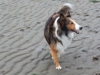 https://sites.google.com/a/collierescue.ca/ocr-ga/adopted-dogs/tennison-sheltie.JPG